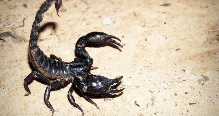Scorpion-milking Robot Collects Venom for Cancer Research