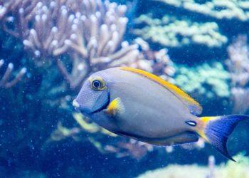 SoFi, A Robotic Fish Will Study Marine Life