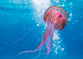 Jellyfish-inspired Soft Robots Can Outswim The Real Thing